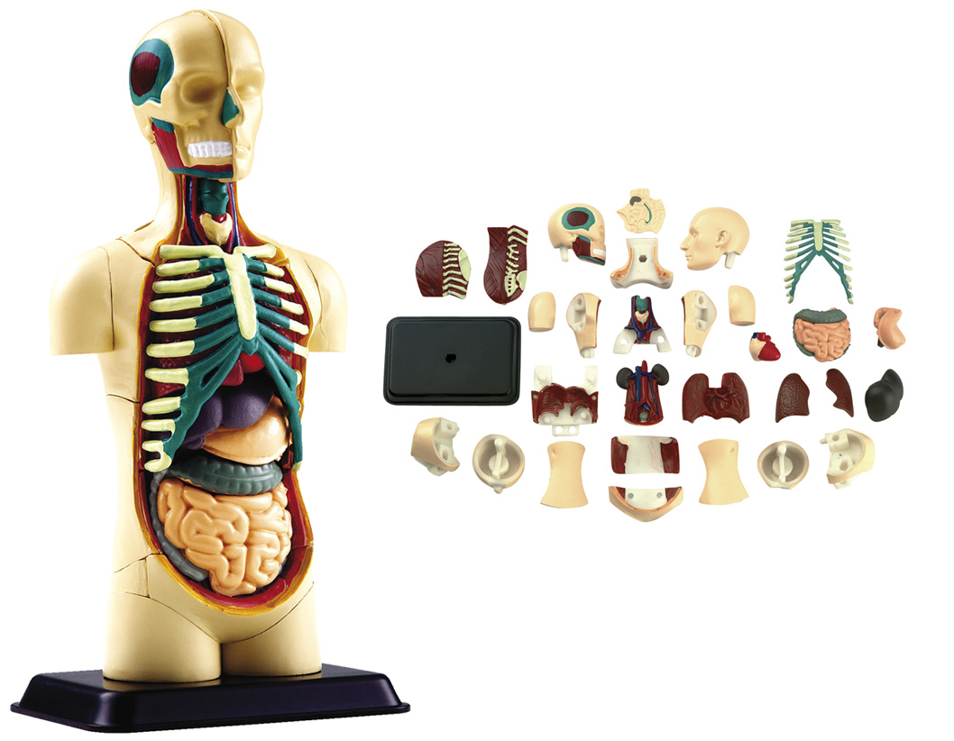 ANATOMIE-MODELL Körper Anatomiemodell Torso Organe NEU | eBay