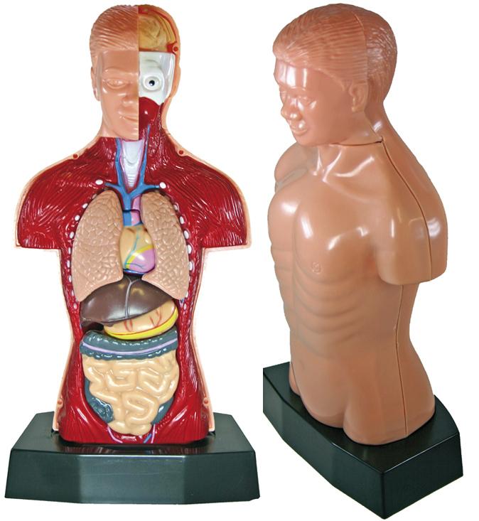 Körpermodell